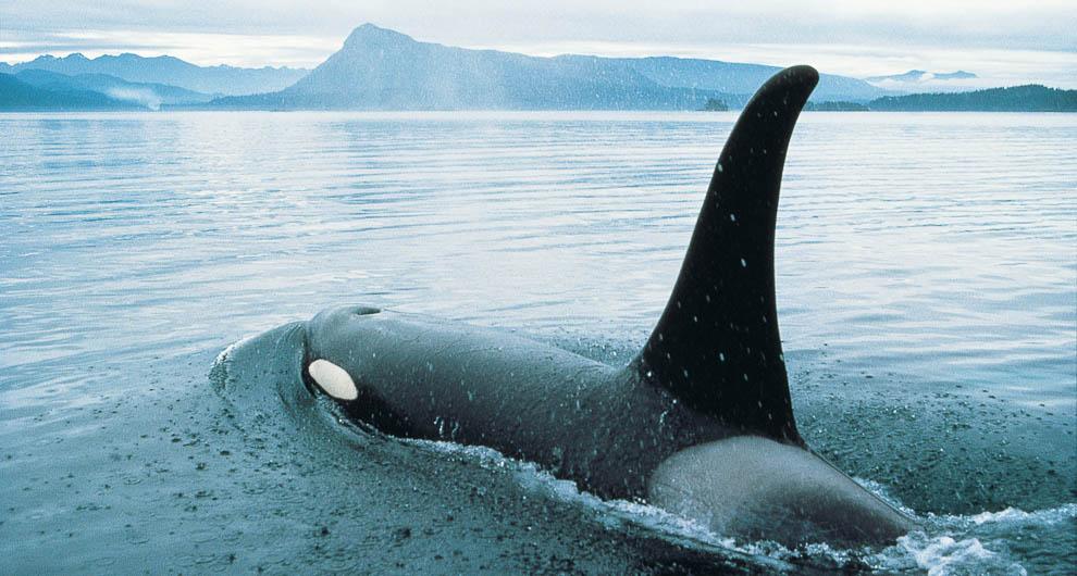 1-0045-robson-bight-orca